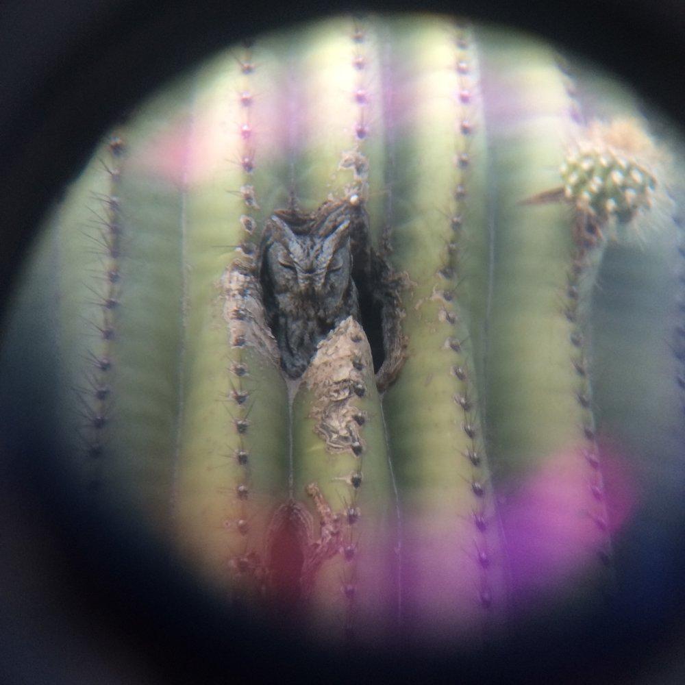 Owl in a Saguaro Cactus