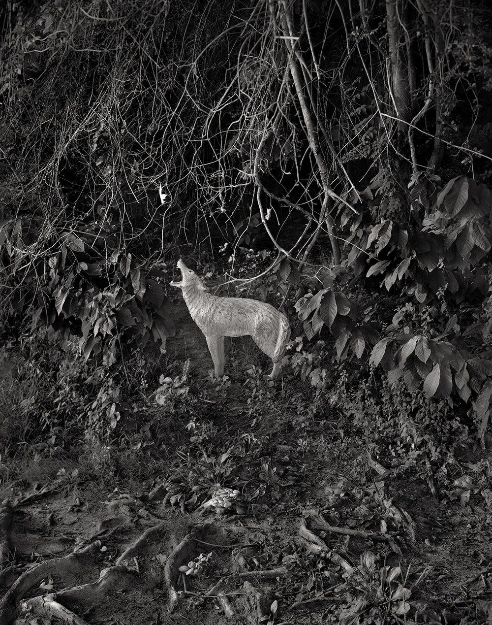 Wood's Coyote