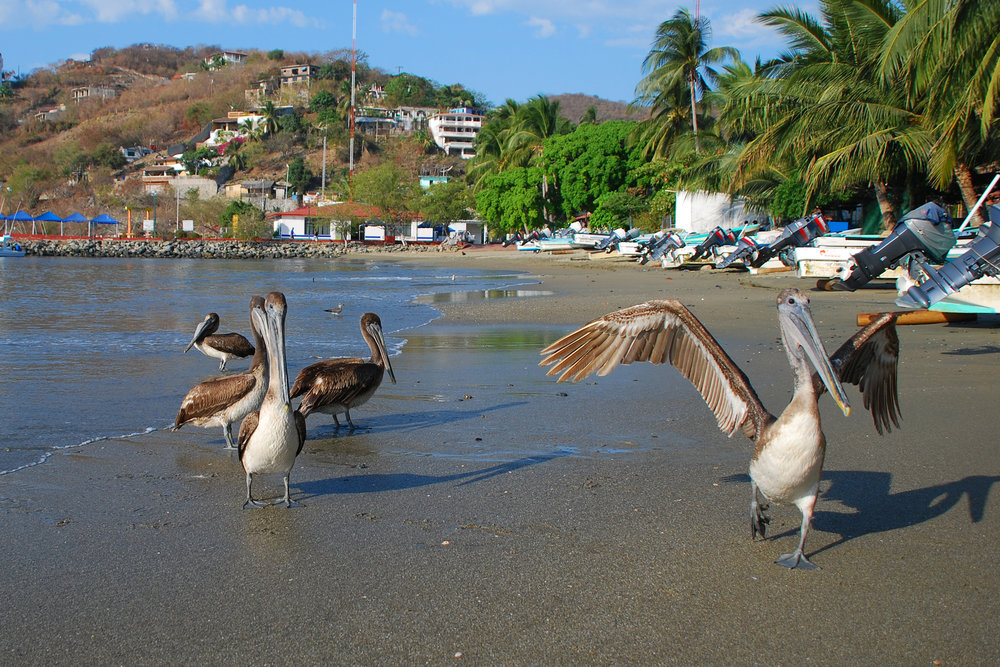 Pelicans, Zihuatanejo, Mexico