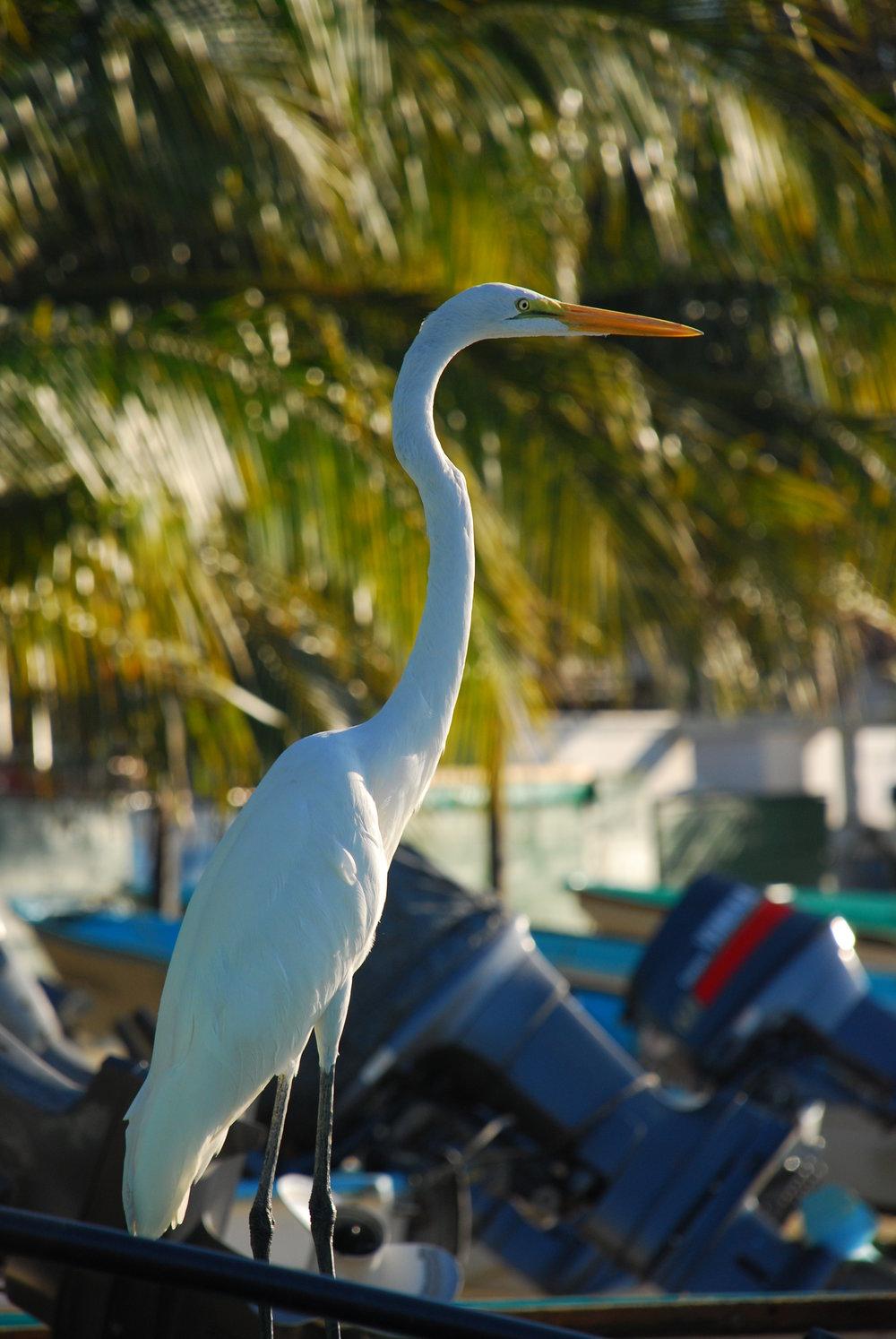 White Crane, Zihuatanejo, Mexico