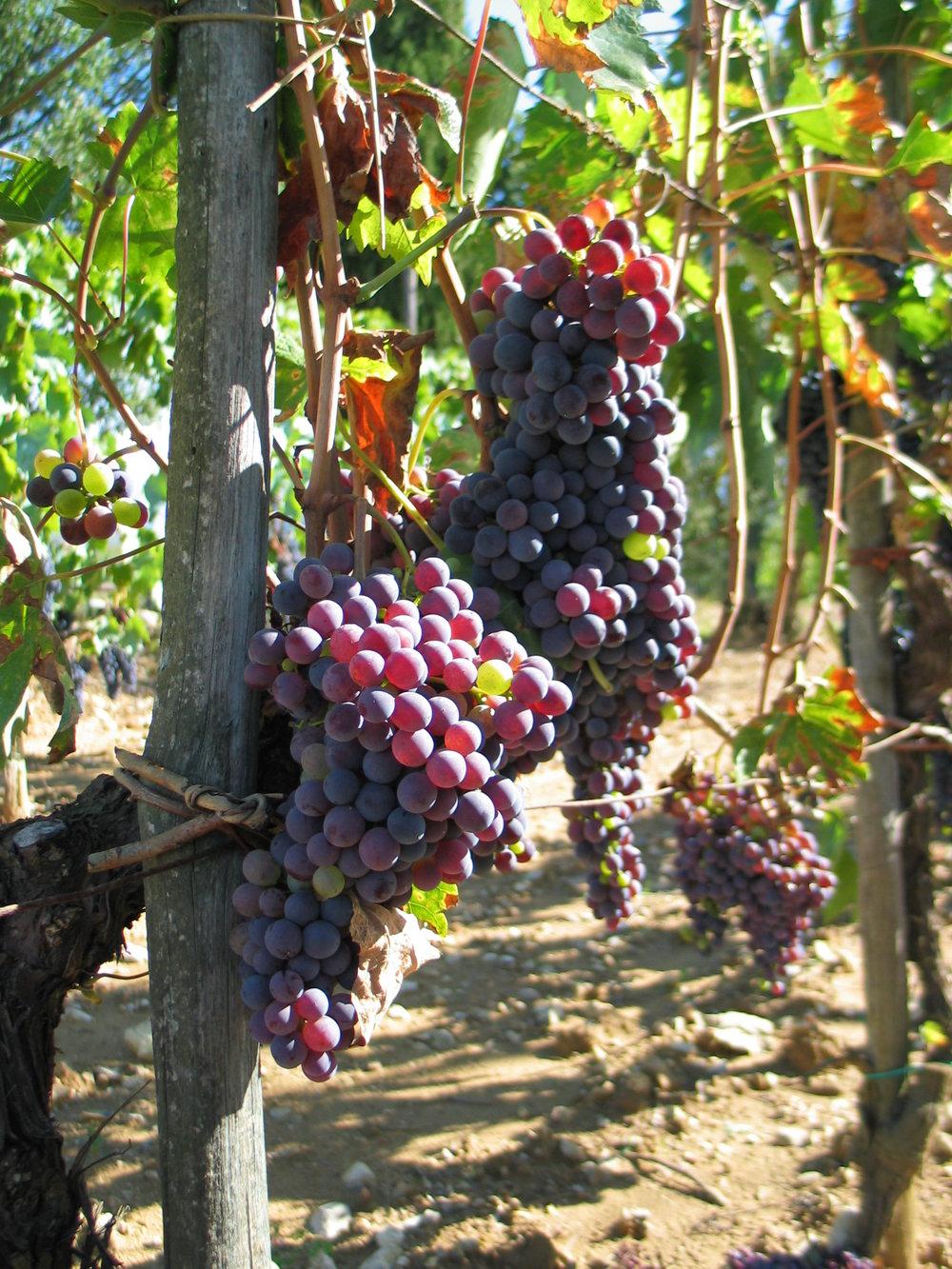 Sangiovese Grapes, Chianti