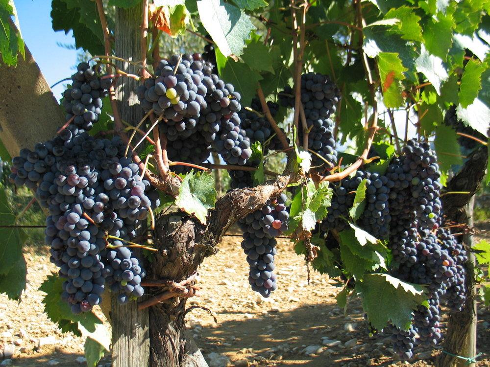 Grapes in Chianti