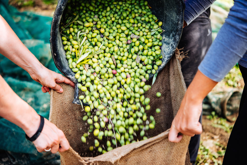 olive_farm.jpg