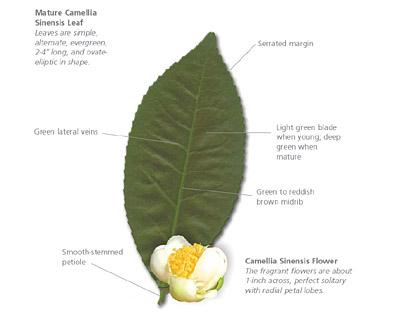 Camellia-Sinensis-Identification.jpg