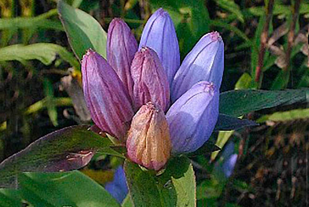 drp-natives-bottle-gentian-1000px.jpg