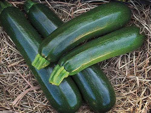 Seedling8-desert-zucchini.jpg