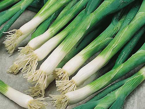 Seedling10-evergreen-scallionl.jpg