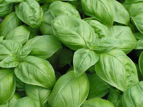 Seedling11-genovese-basil.jpg