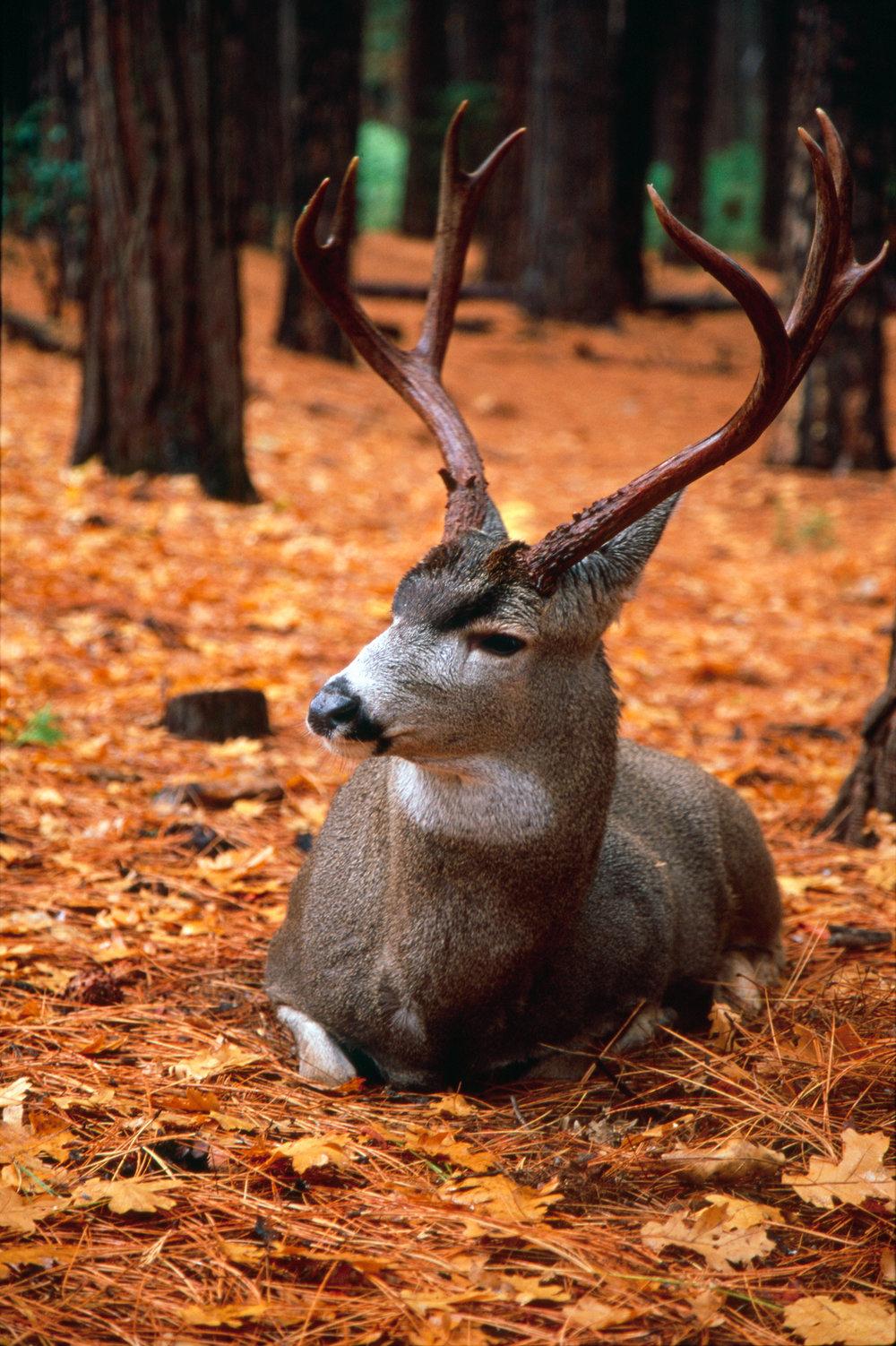 Deer at Yosemite