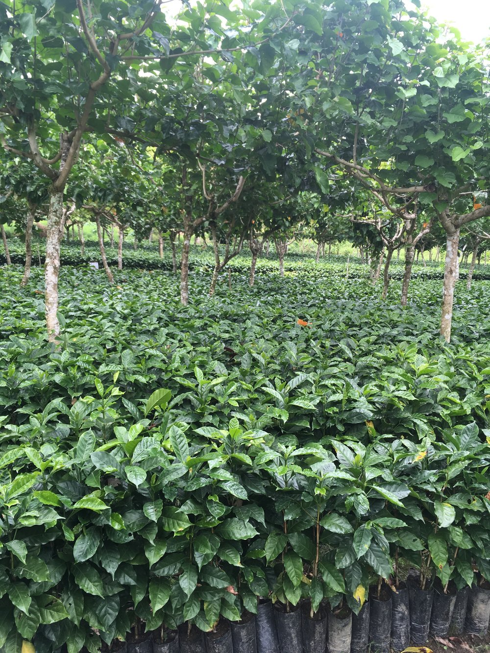 Rows and rows of mathematically perfect shade trees protecting thousands of coffee seedlings.