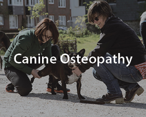 Woman performing canine osteopathy on french bulldog