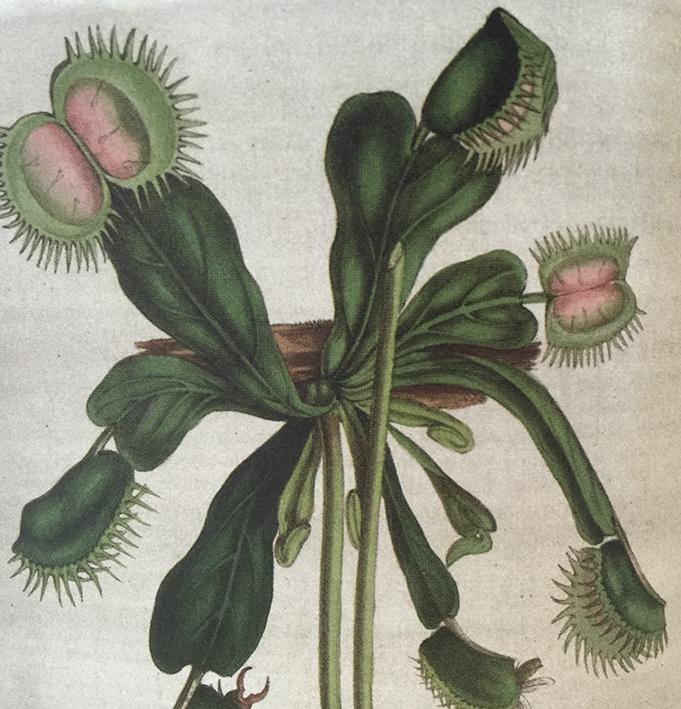 Venus Fly-Trap  ( Dionaea muscipula )