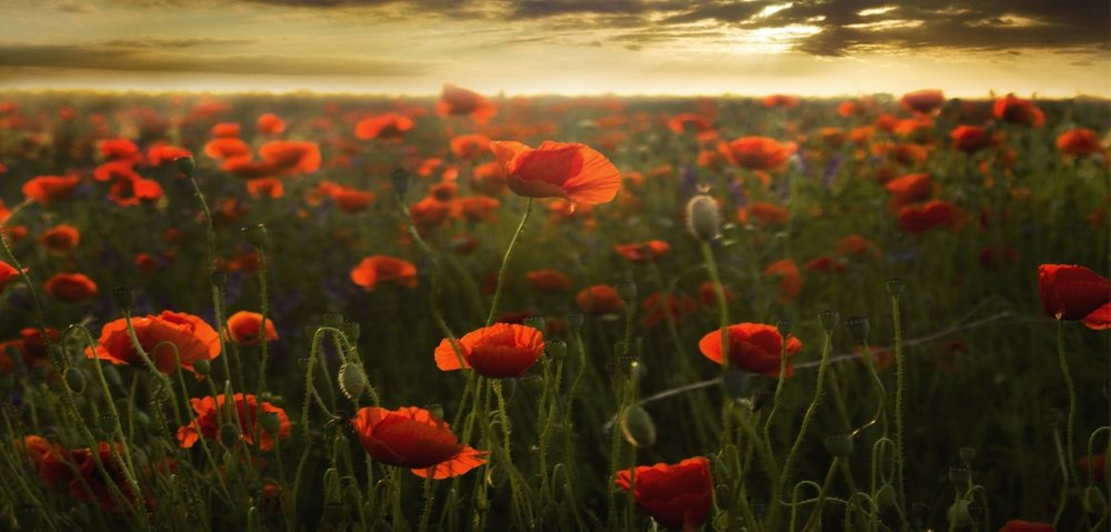 poppies-cover1.jpg