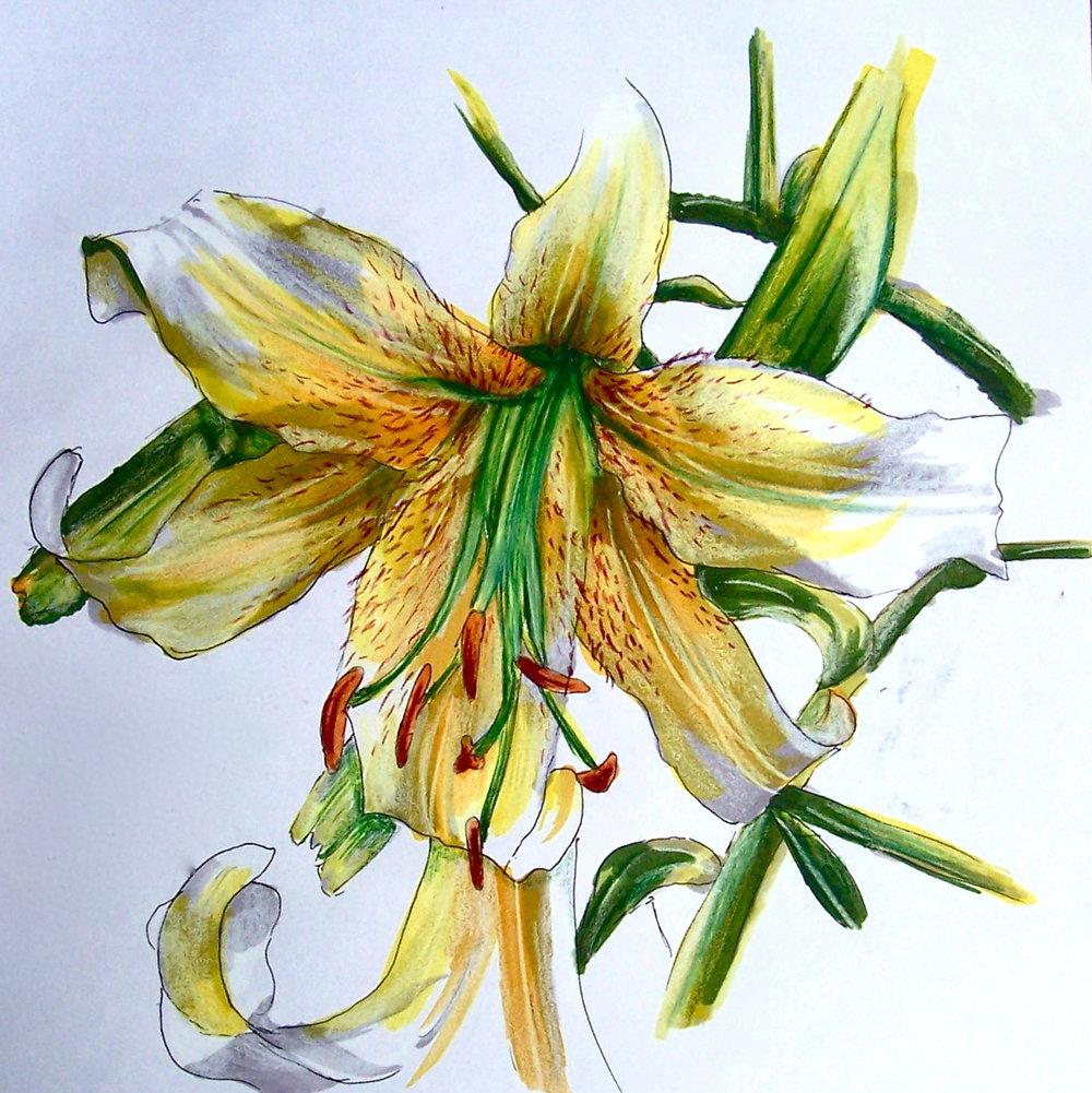 Lily Sketch.JPG