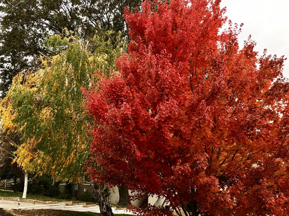 My neighborhood fall trees...