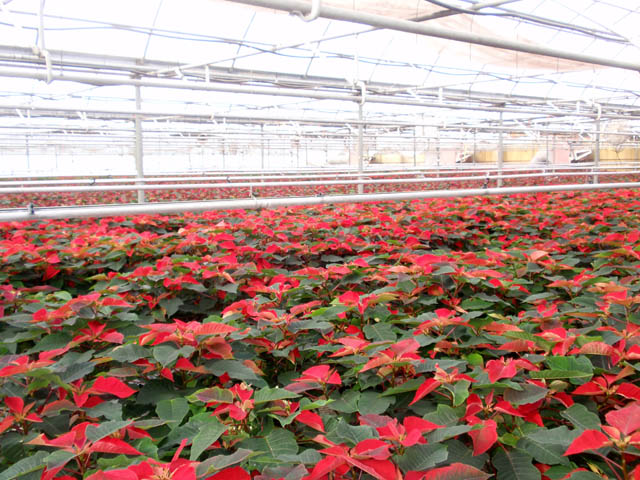 Red Poinsettias.jpg