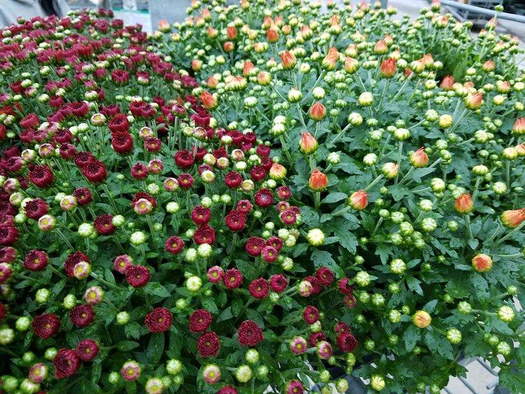 hardy garden mum - Garden Mum