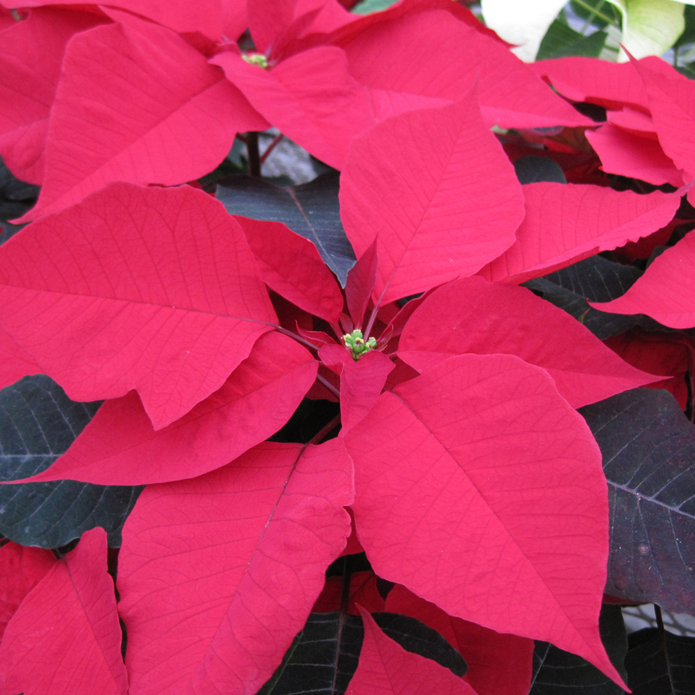 poinsettia-square-homepage.jpg