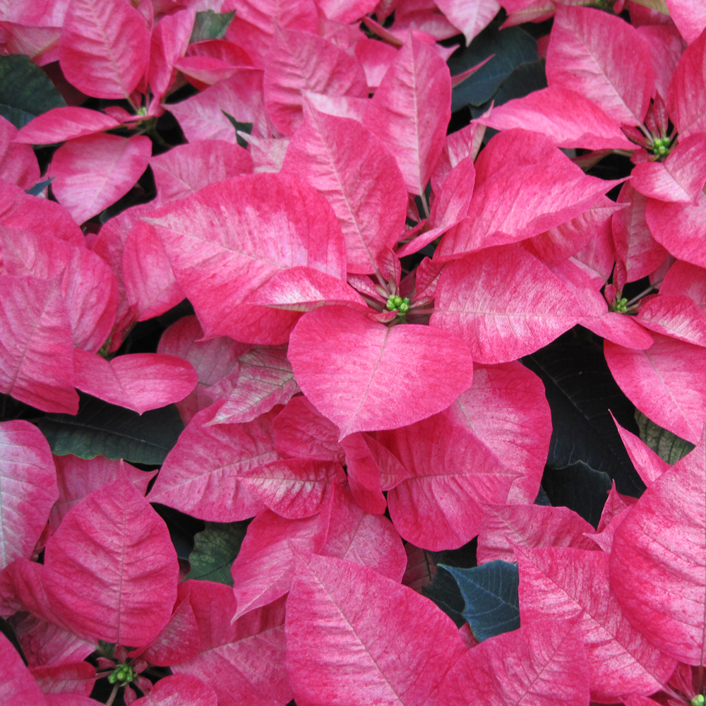 poinsettia-square-homepage-pink.jpg