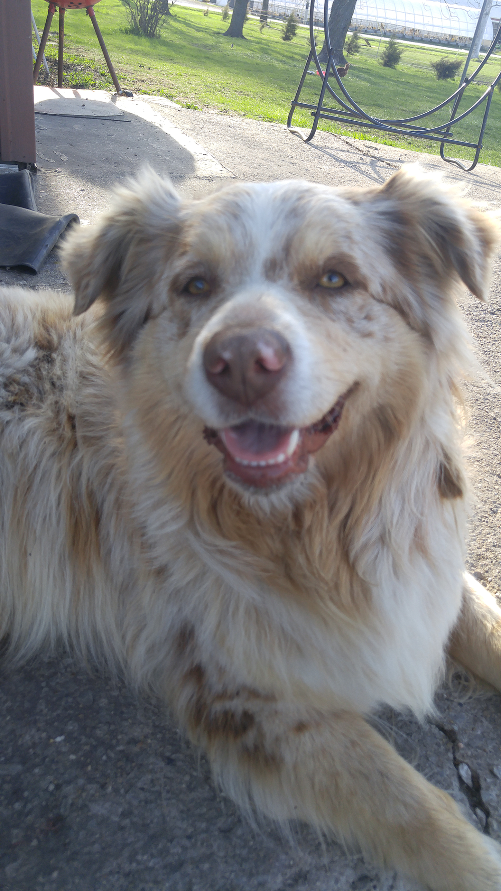 Austrailian Shepherd  farm dog