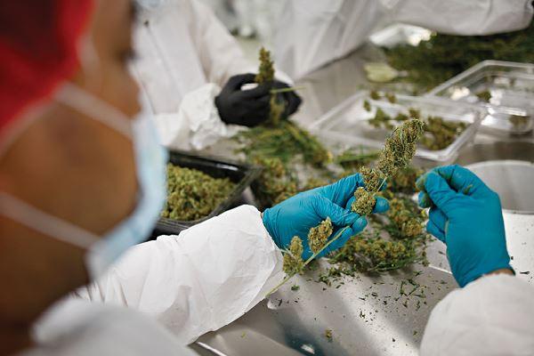Medicinale cannabis in Nederland — Ariana