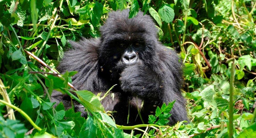 Mountain Gorilla Jungle