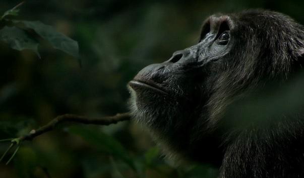 Ngogo_Chimp