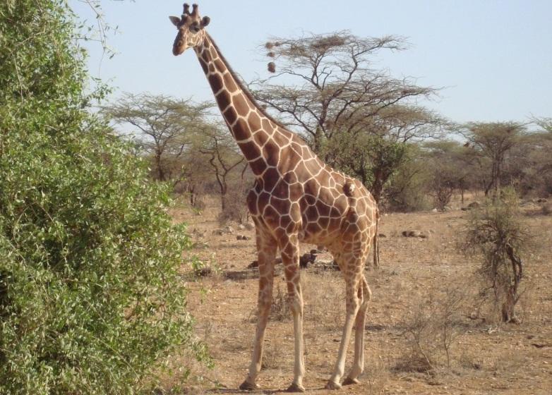 Samburu_Giraffe