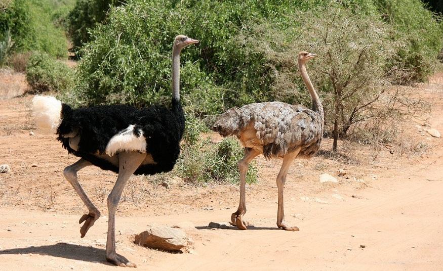 Samburu_Reserve_Ostrich
