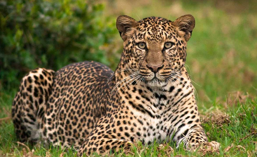 Samburu_Leopard