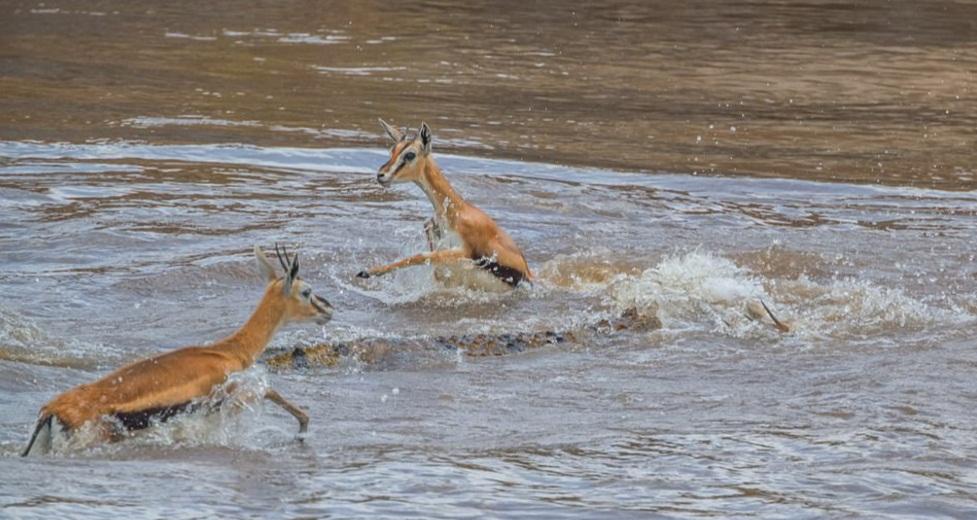 Masai_Mara_Gazelle