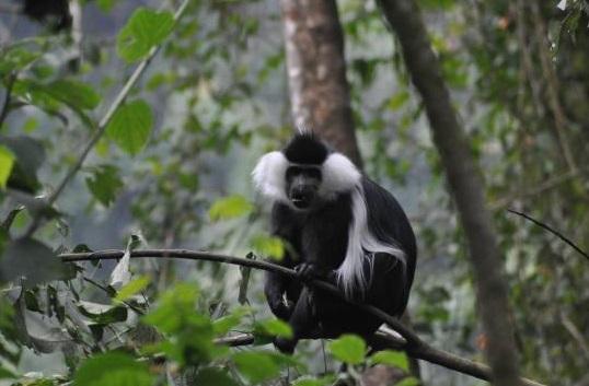 Nyungwe_Monkey