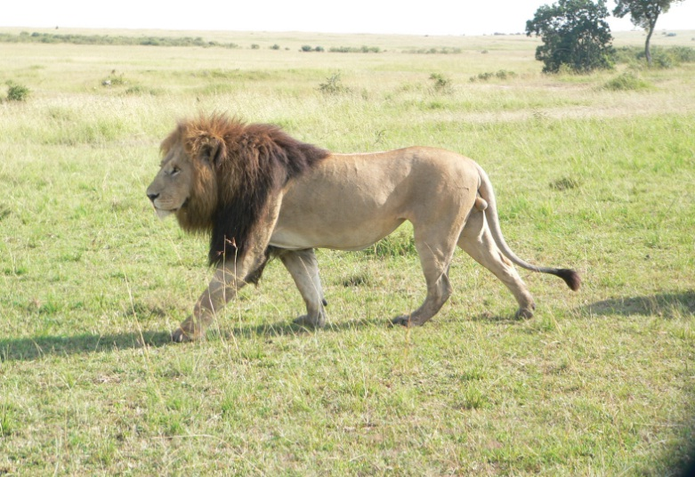 Masai_Mara_Lion