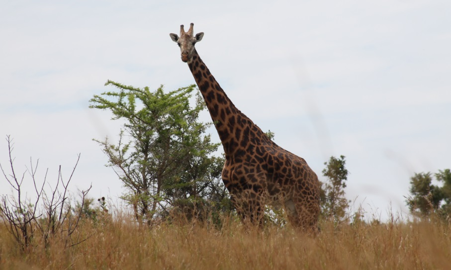 Kidepo_National_Park_Giraffe