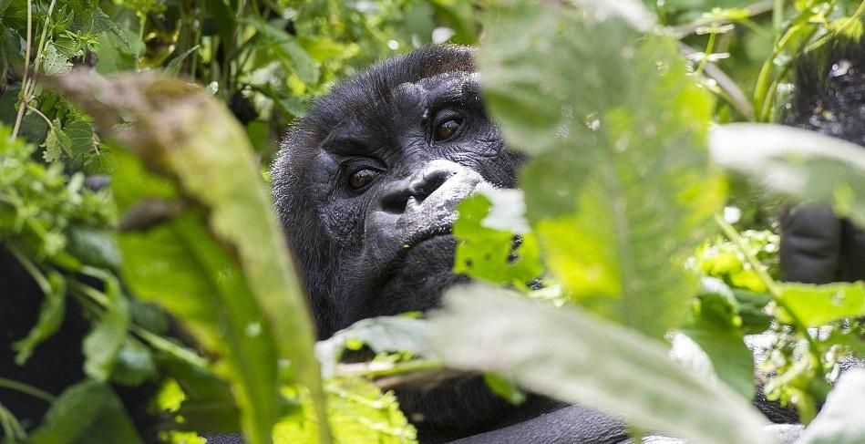 Bwindi_Gorilla