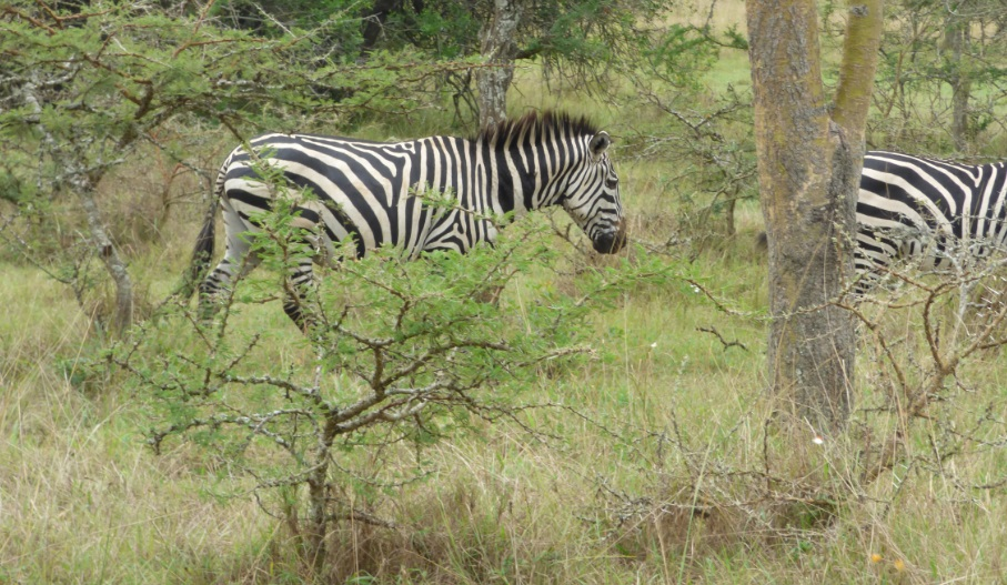 Lake_Mburo_Zebra