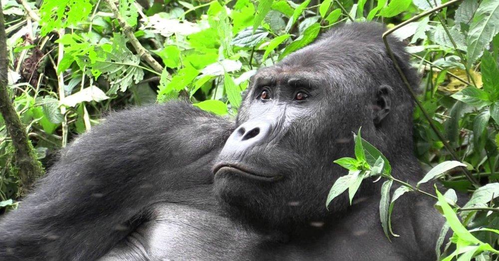 Mgahinga_Gorilla