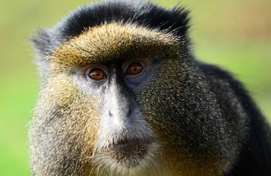 Mgahinga_golden_monkey.png