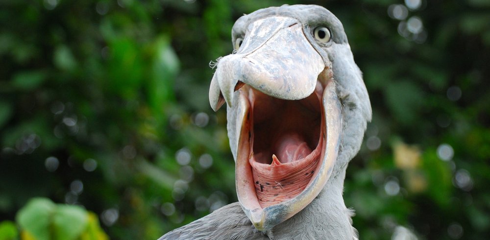SHOEBILL 2.png
