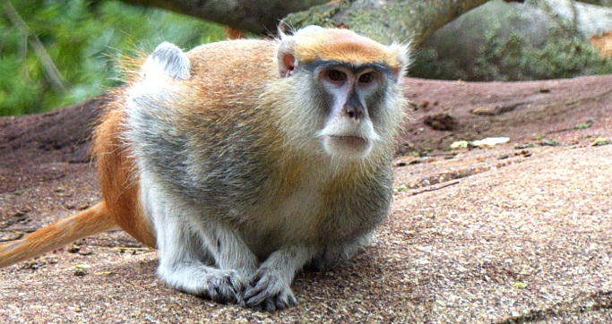 patas monkey 2.jpg