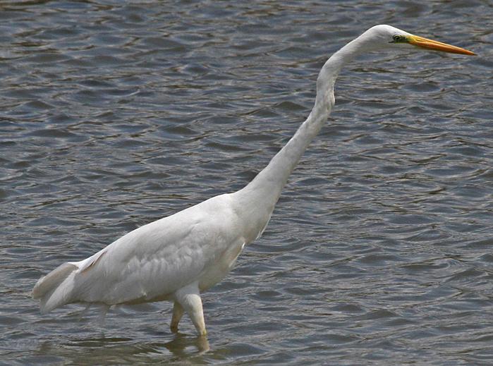 white egret.png