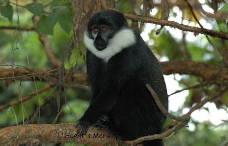 L'Hoest monkey 2.jpg