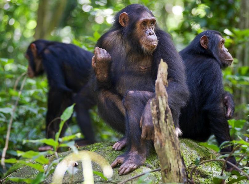 chimpanzee 1.jpg