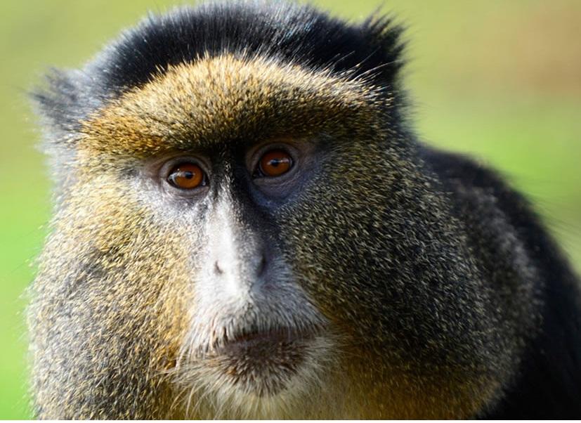 golden monkey.jpg