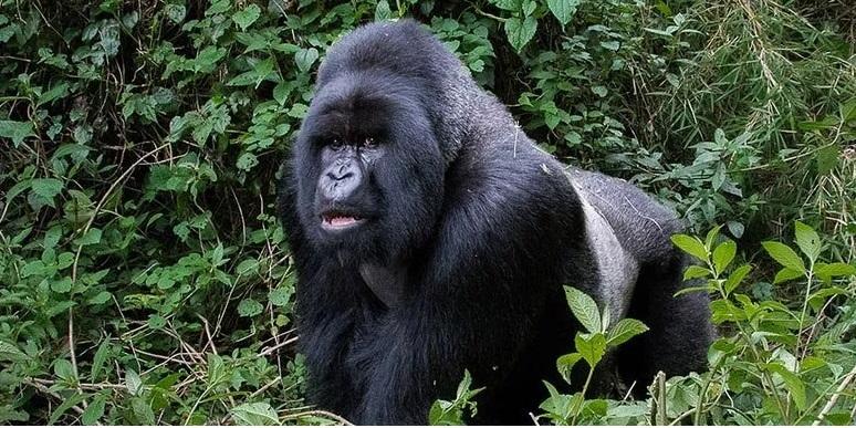 gorillas3.jpg