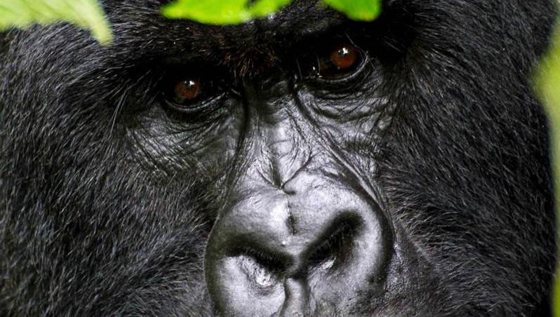 gorillas2.jpg