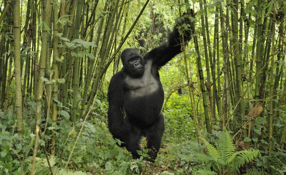 bamboo tree gorillas.jpg