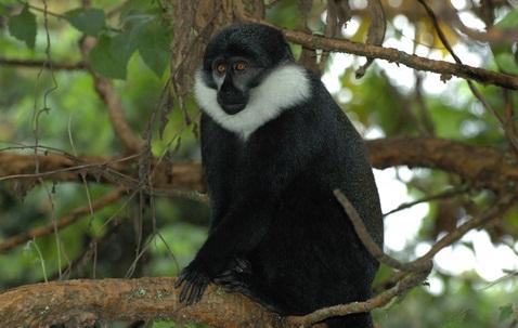 l'hoest's monkey.jpg