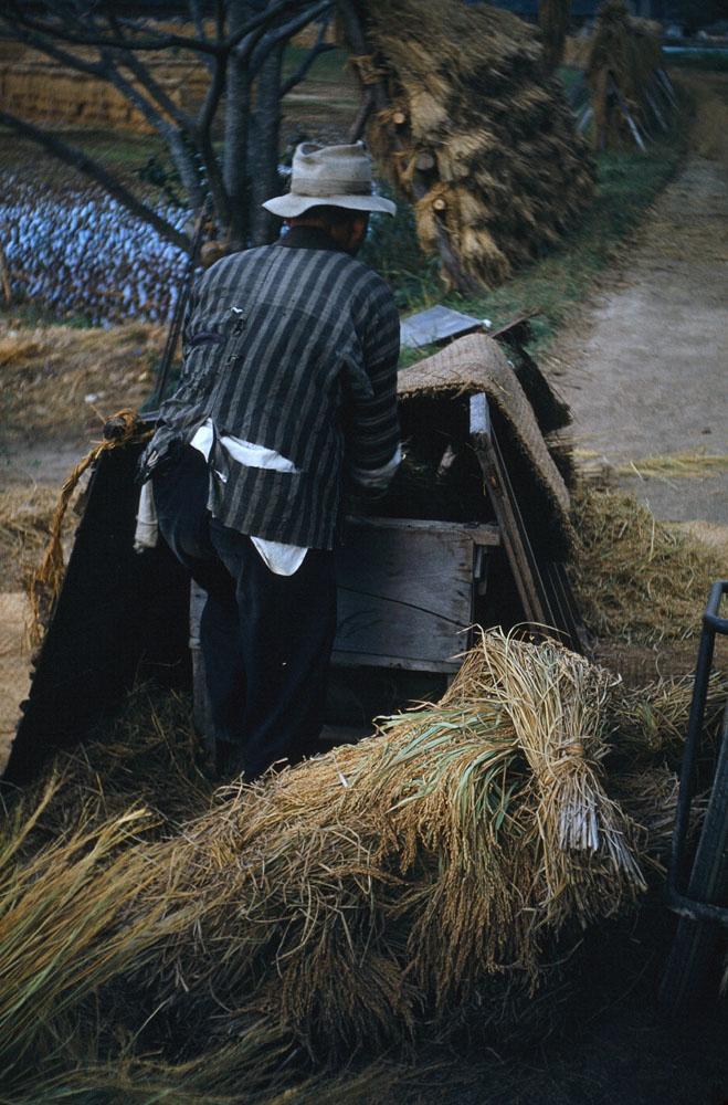 66- Rice Harvest