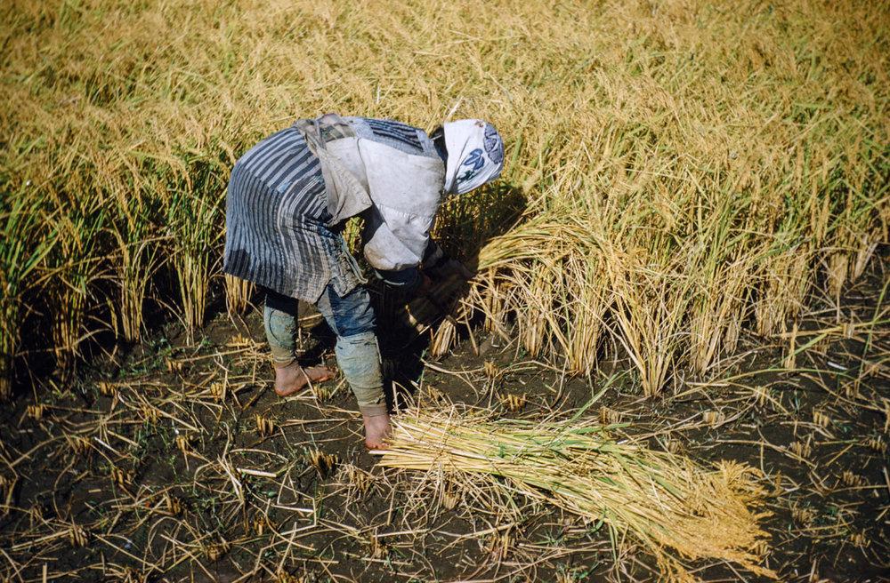 208- Harvesting Rice